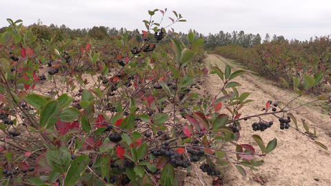 Chokeberry (Aronia) black berry bushes grow in farm plantation Footage