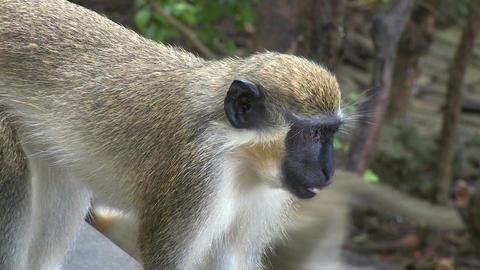 Green Monkeys (1 of 9) Footage