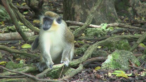 Green Monkeys (8 of 9) Footage