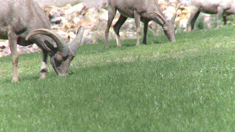 Big Horn Sheep Grazing (3 of 4) Live Action