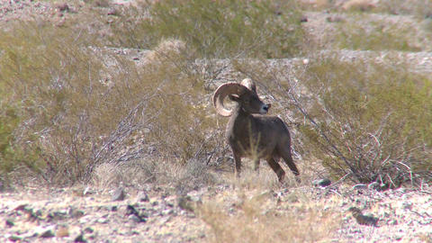 Big Horn Sheep in a valley Live Action