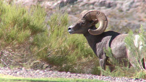 Big Horn Sheep Ram (1 of 7) Live Action