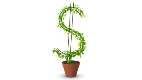 Bonsai. Dollar Tree. Growth Of Dollar Tree. Isolated stock footage