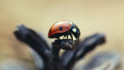 Ladybird Crawling On The Cone , Close-up stock footage