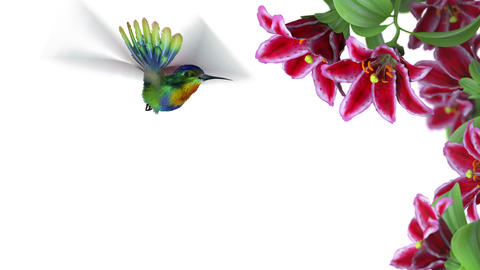 Humming bird CG動画素材