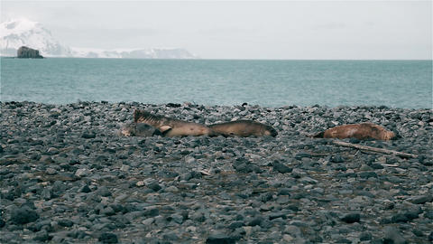 Seals sunbathe on the stone beach Footage