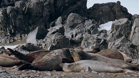 Seals sunbathing on a stone beach Footage