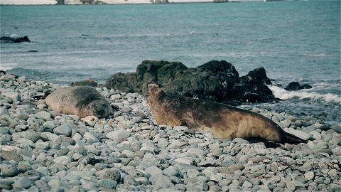 Seals snapping Footage