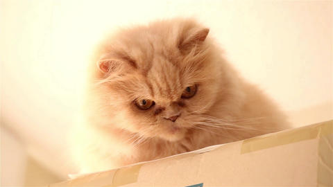 Persian cat playing toy Footage