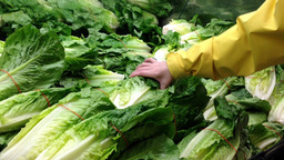 Woman selecting fresh romaine lettuce in grocery store produce department Footage