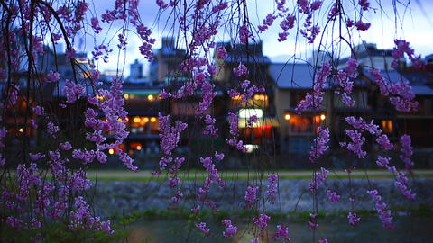The branches of cherry blossoms against a background of the evening Kyoto Footage