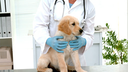 In slow motion smiling veterinarian examining a cute dog Footage