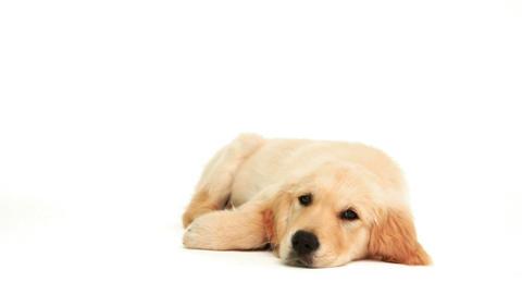 Cute puppy lying down Footage