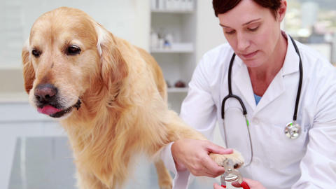 Veterinarian cutting dogs nails Footage