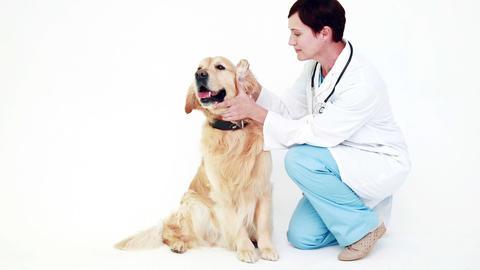 Veterinarian examining a cute labrador Live Action