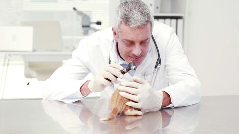 Veterinarian examining a little cat Footage