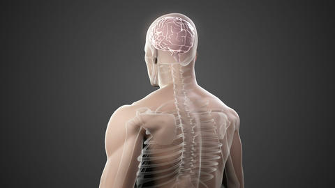 Revolving body with visible brain and skeleton Animation