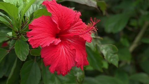 Flower of Hibiscus in Iriomote island,Okinwa,Japan_1 Stock Video Footage
