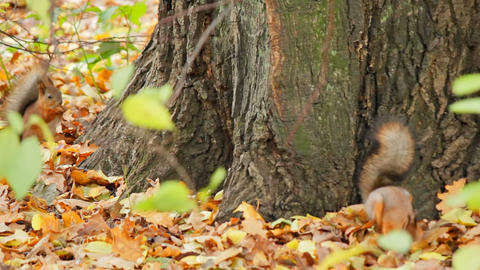 Squirrels search for meal Stock Video Footage