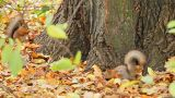 Squirrels Search For Meal stock footage