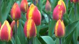 Tulipa flair Footage