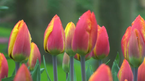 Tulipa flair Stock Video Footage