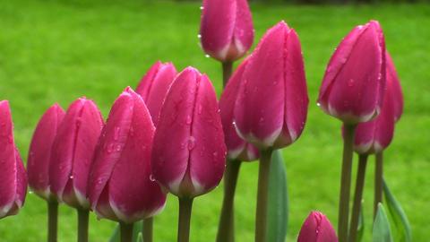 Tulipa rosy delight Stock Video Footage