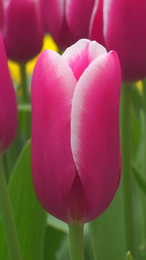 Tulipa Lornah Stock Video Footage