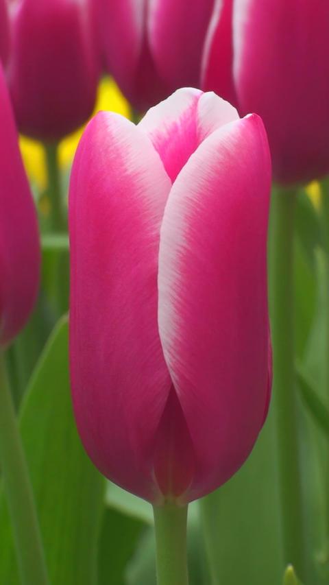 Tulipa Lornah Footage