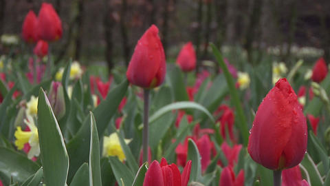Tulipa christmas marvel Stock Video Footage