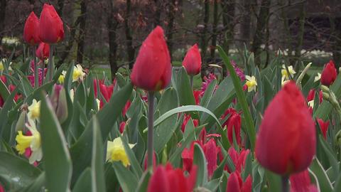 Tulipa christmas marvel Stock Video Footage