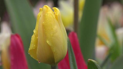 Tulipa kikomachi Stock Video Footage