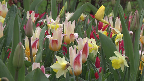 Tulipa Johann Strauss Stock Video Footage