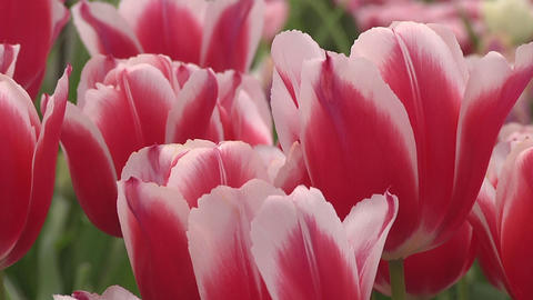 Tulipa Deltaqueen Stock Video Footage