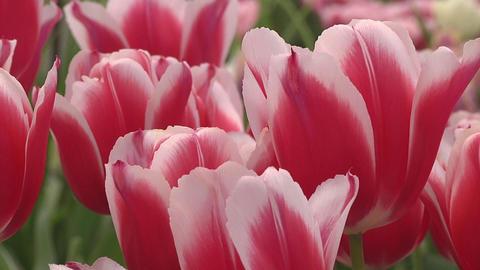 Tulipa Deltaqueen Stock Video Footage