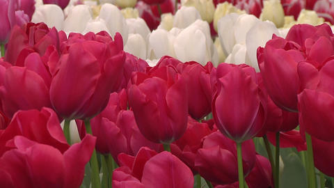 Tulipa Roxy Stock Video Footage