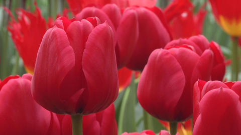 Tulipa Unique de France Stock Video Footage