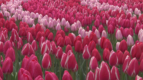 Mix of pink and white tulips Stock Video Footage