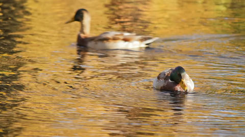 Ducks swim in a pond Stock Video Footage
