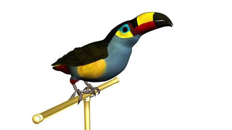オオハシ・鳥 Animation