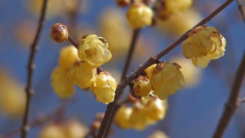 Flower of a Wintersweet in Nagatoro,Saitama,Japan_3 Stock Video Footage