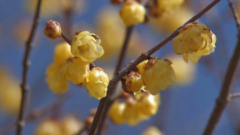 Flower of a Wintersweet in Nagatoro,Saitama,Japan_3 Stock Video Footage