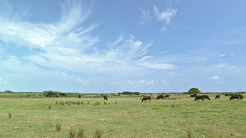 Cows in Kuroshima island,Okinawa,Japan_2 Stock Video Footage