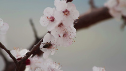 Peach blossoms and honeybee Stock Video Footage