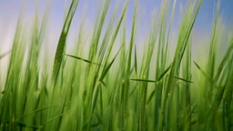 Green barley ears in the breeze Stock Video Footage