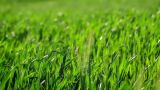 Green barley in the breeze Footage