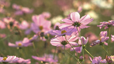 Flowers of Cosmos,in Showa Kinen Park,Tokyo,Japan_3 Stock Video Footage