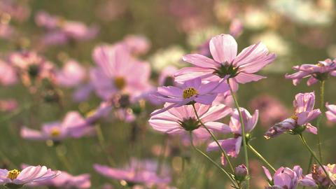 Flowers of Cosmos,in Showa Kinen Park,Tokyo,Japan_3 Stock Video Footage