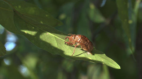 Husk of the Cicada in Showa Kinen Park,Tokyo,Japan_2 Stock Video Footage