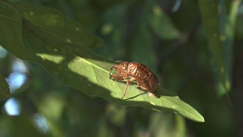 Husk of the Cicada in Showa Kinen Park,Tokyo,Japan_2 Live Action